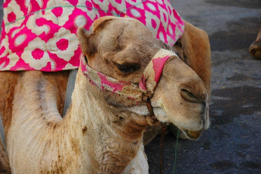верблюд агадир