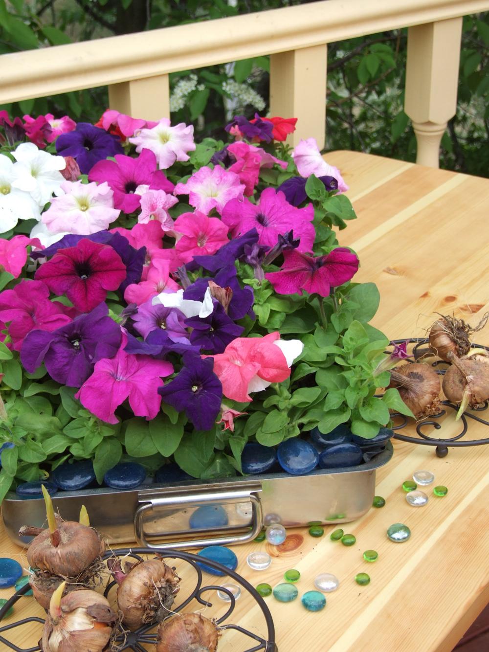 Петунии – необыкновенно яркие цветы.